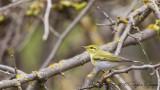 Wood Warbler - Phylloscopus sibilatrix - Orman çıvgını