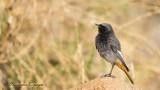 Black Redstart - Phoenicurus ochruros - Kara kızılkuyruk