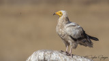 Egyptian Vulture - Neophron percnopterus - Küçük akbaba
