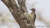 Nubian Woodpecker - Campethera nubica