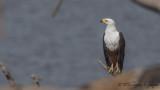 African Fish Eagle - Haliaeetus vocifer - Afrika Balık Kartalı