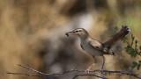 Rufous-tailed Scrub Robin - Cercotrichas galactotes - Çalıbülbülü