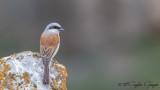 Red-backed Shrike - Lanius collurio - Kızılsırtlı Örümcekkuşu