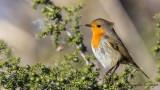 Robin - Erithacus rubecula - Kızılgerdan