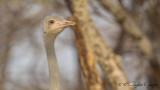 Somali Ostrich - Struthio molybdophanes - Somali devekuşu