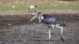 Marabou Stork - Leptoptilos crumenifer