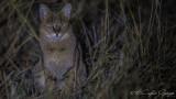 Jungle Cat - Felis chaus - Saz kedisi