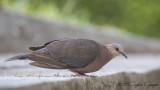 Red-eyed Dove - Streptopelia semitorquata - Kırmızı gözlü kumru