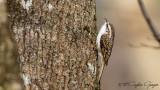 Eurasian Treecreeper - Certhia familiaris - Orman tırmaşıkkuşu