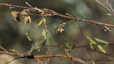 Willow Warbler - Phylloscopus trochilus - Söğütbülbülü