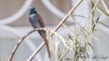African Paradise Flycatcher - Terpsiphone viridis - Afrika Cennet Sinekkapanı
