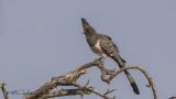 White-bellied Go-away-bird - Corythaixoides leucogaster
