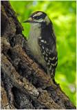 DownyWoodpecker18.jpg