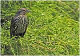 FemaleRWblackbird1.jpg