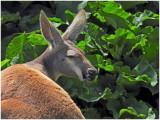 KangarooELM1.jpg