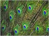 Peacock_1ELM.jpg