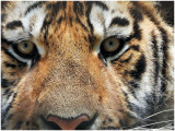 TigerELM1.jpg