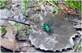 SixSpotted_Tiger_Beetle_1.JPG