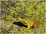 Green_Frog_4.jpg