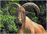 Mouflon_Sheep_2.jpg