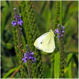 White_Sulphur_2.jpg