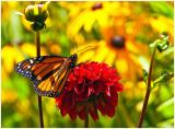 Monarch_2019b.jpg