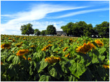 Lauras_Sunflowers_1.jpg