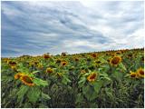 Lauras_Sunflowers_3.jpg