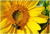 Sunflower_Bee_1.jpg