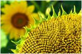 LakeshoreSunflowers_1.jpg