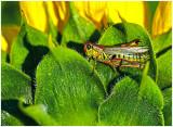 Redlegged_Grasshopper_1.jpg