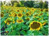 LakeshoreSunflowers_3.jpg