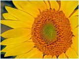 LakeshoreSunflowers_4.jpg