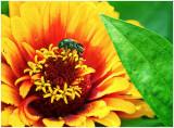 Japanese_Beetle_1.jpg