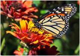 Monarch_JamesGardens_1.jpg