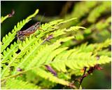Redlegged_Grasshopper_2.jpg