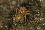 3/16/2019  Golden Dung Fly (Scathophaga stercoraria) mating on Cow dung