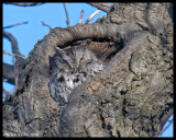 Screech Owls / Petits ducs maculés