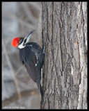 WOODPECKERS / PICS/HUMMERS