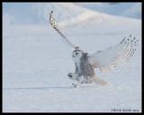 Snowy Owls/Harfangs des neiges
