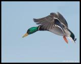 AQUATIC  BIRDS / OISEAUX  AQUATIQUES