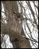 Great Horned Owl /Grand-Duc