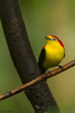 Wired-tailed Manakin