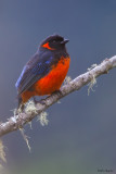Fire-bellied Mountain-tanager