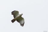 Black-and-White Hawk Eagle