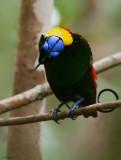 Wilson's Bird-of-paradise