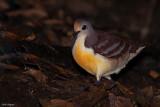 Cinnamon Ground-dove