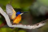 New Guinea Dwarf-kingfisher