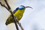 Common Sunbird-asity