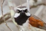 Red-shouldered Vanga
